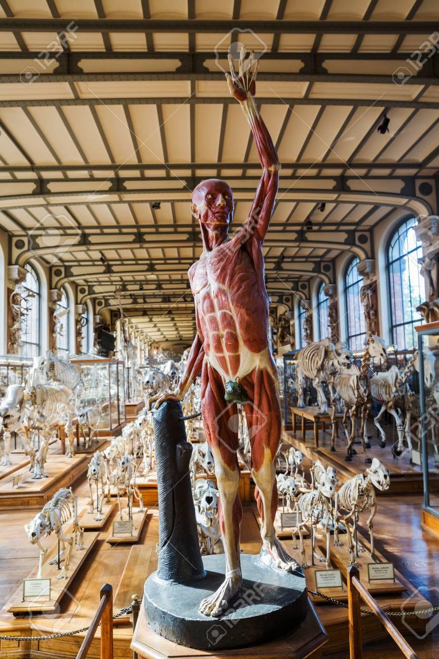 París, Francia - 16 De Octubre 2016: Esqueletos De Animales En La ...
