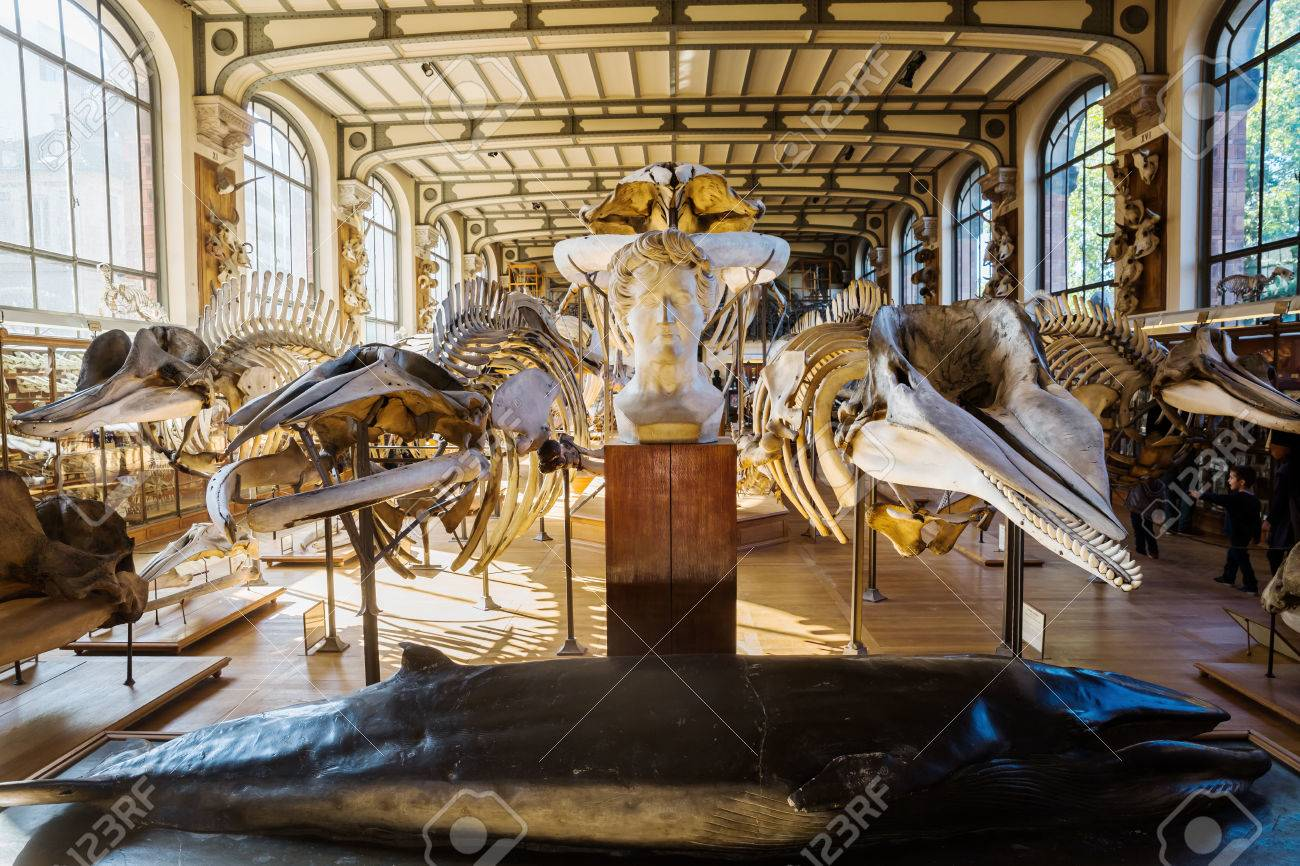 Skeletons Of Animals In The Gallery Of Palaeontology And Comparative ...