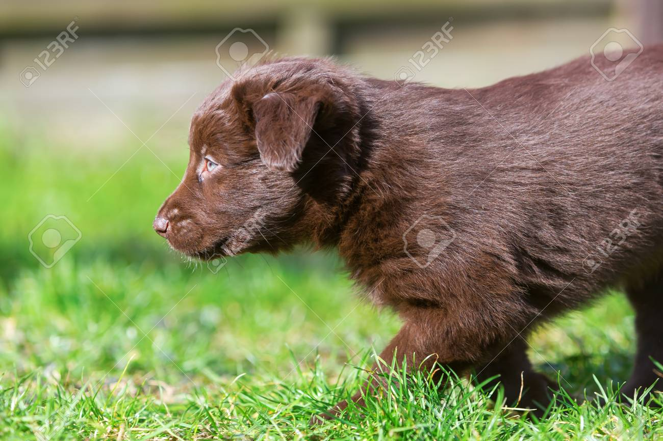 Brown Australian Shepherd Puppy Walks On The Lawn Stock Photo Picture And Royalty Free Image Image 73535102