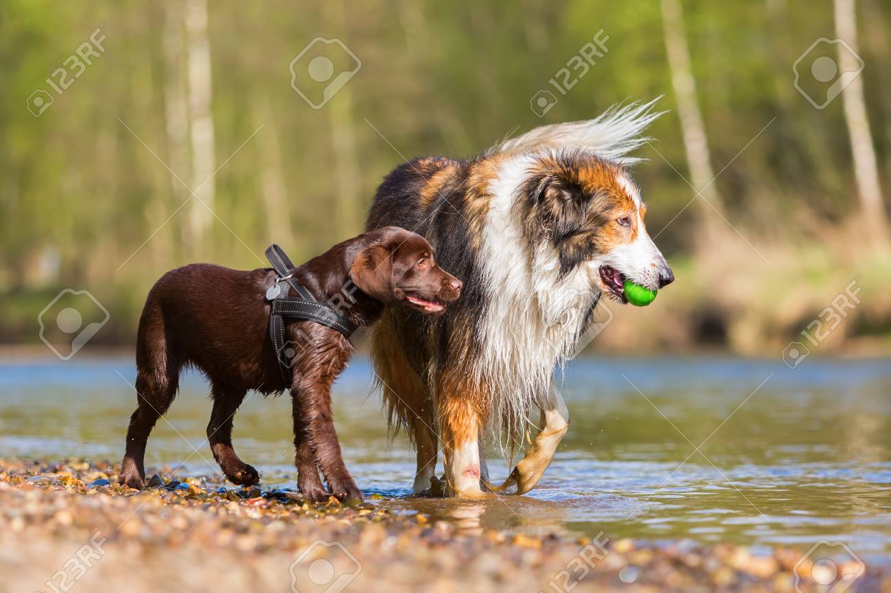 Collie Mix And Labrador Puppy Playing At The River Stock Photo