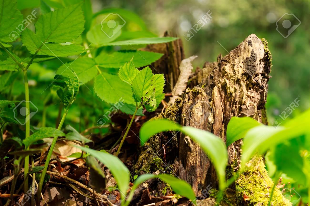 Raíz De árbol Picado En Un Bosque Con Hojas Que Crecen Cerca De él ...