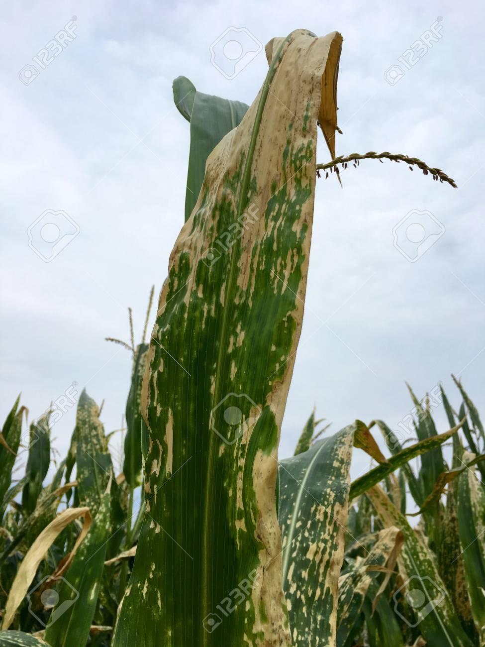 helminthosporium turcicum milho