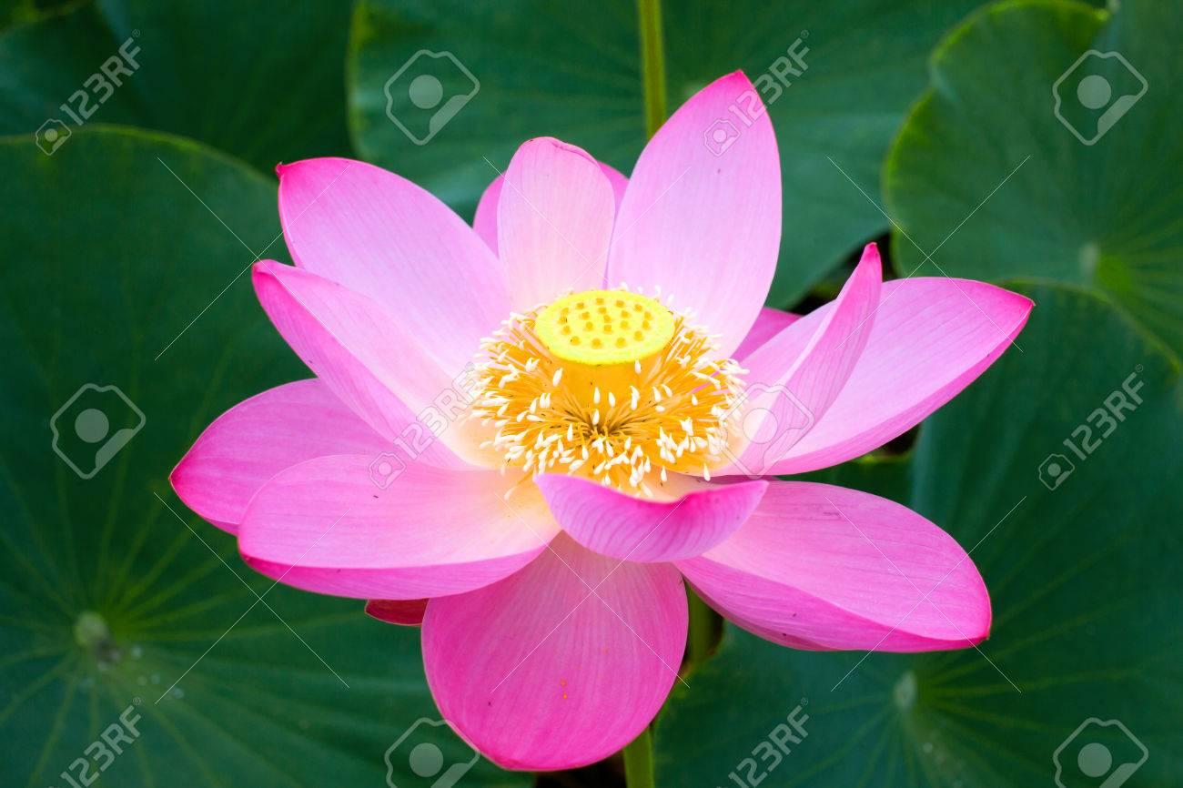 Lotus flower symbol of purity symbol of buddhism nelumbo lotus lotus flower symbol of purity symbol of buddhism nelumbo lotus orehonosny species mightylinksfo
