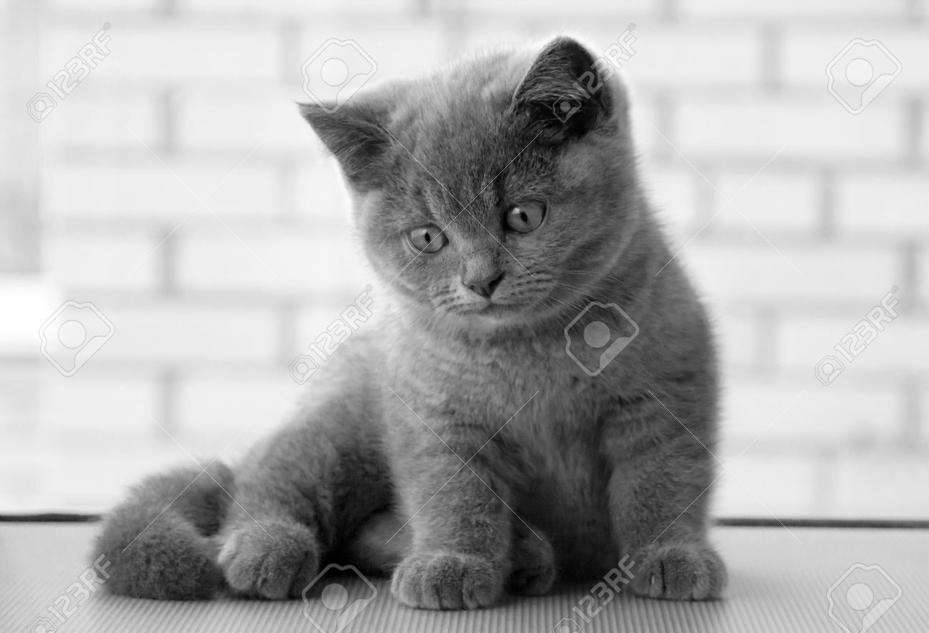 Beautiful Kitty Kitty Model British Kitten Cute And Beautiful Stock Photo Picture And Royalty Free Image Image 57050447