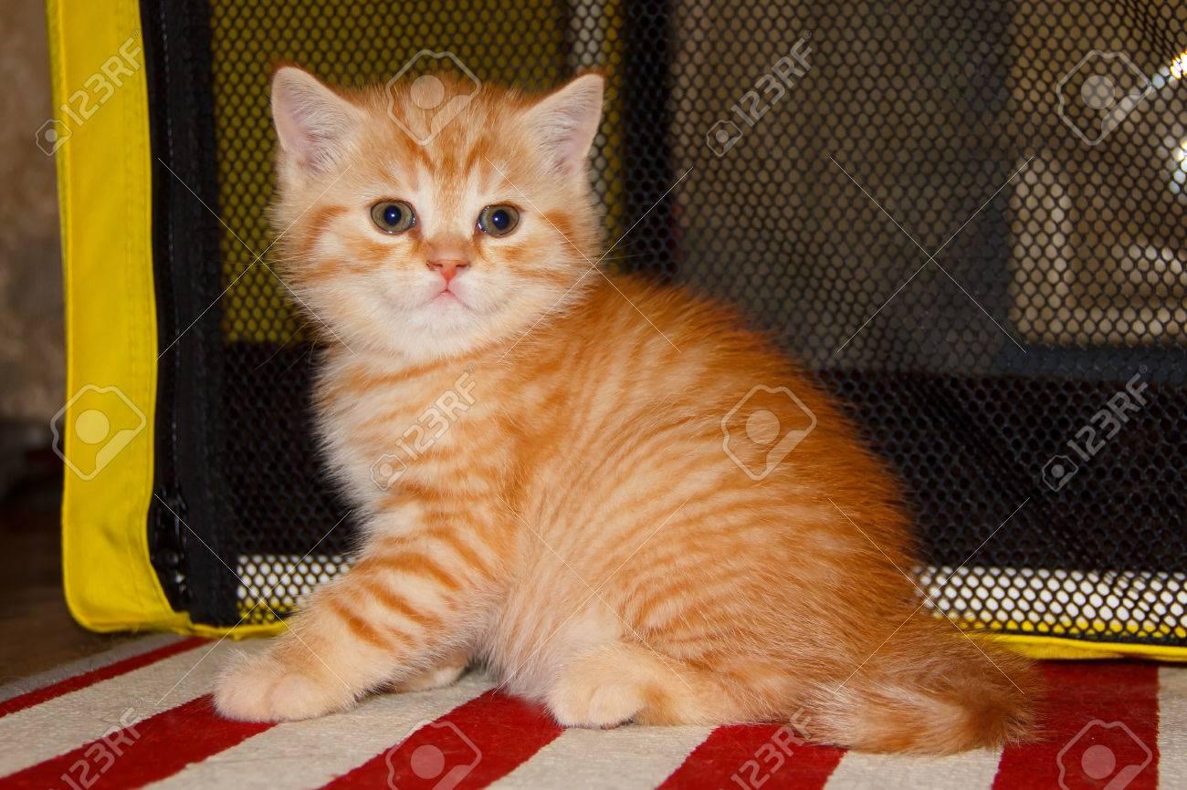 Peach Atigrado Tabby Gatito Rojo Tabby. Pequeño Gato Casero ...