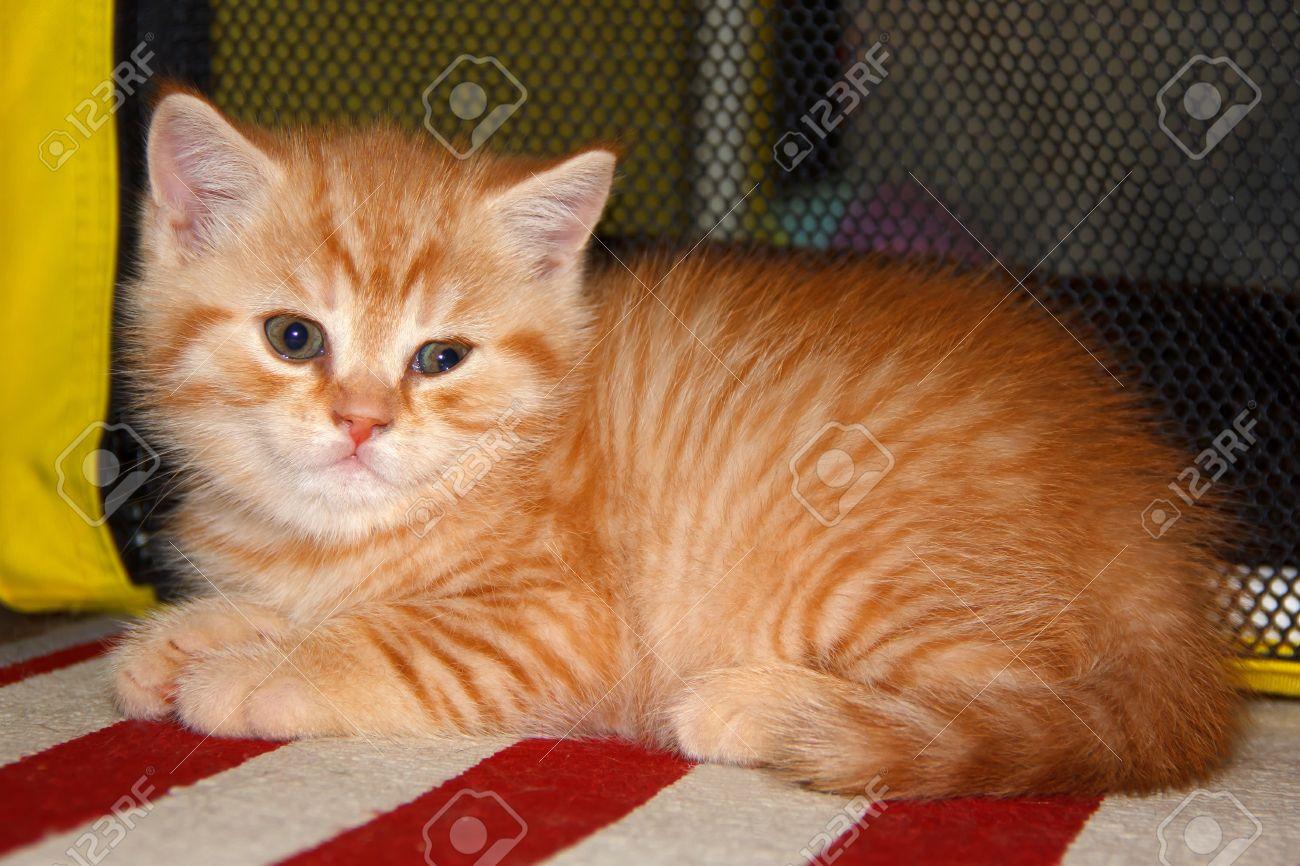 peach striped tabby kitten red tabby home small pet cat british