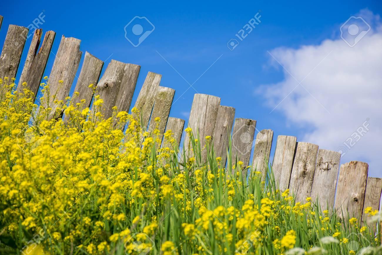 Fiori Gialli Normandia.Immagini Stock Vista Pastorale Della Palizzata Di Tavole