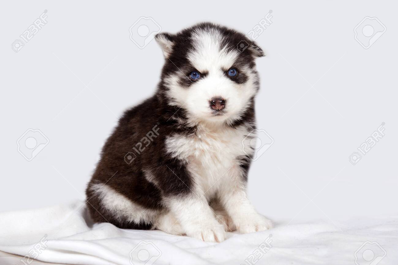 Cute Baby Dog Husky With Blue Eyes Stock Photo Picture And Royalty Free Image Image 147397244