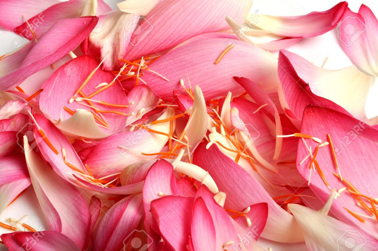 Real Lotus Flower Petals With Isolated Background Stock Photo