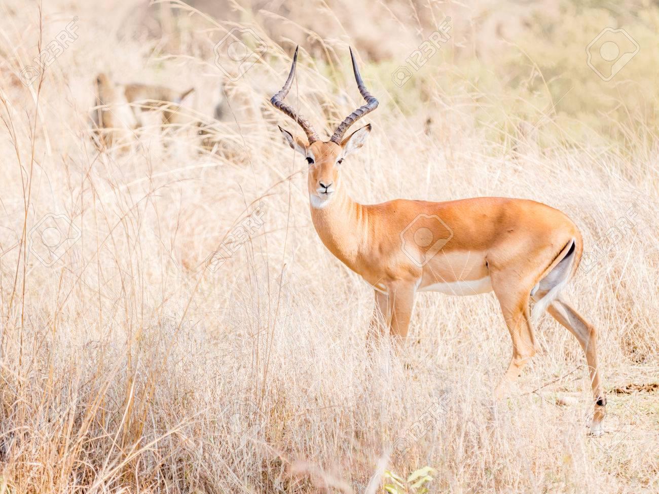 De antilopes africanos fotos Antílopes Africanos