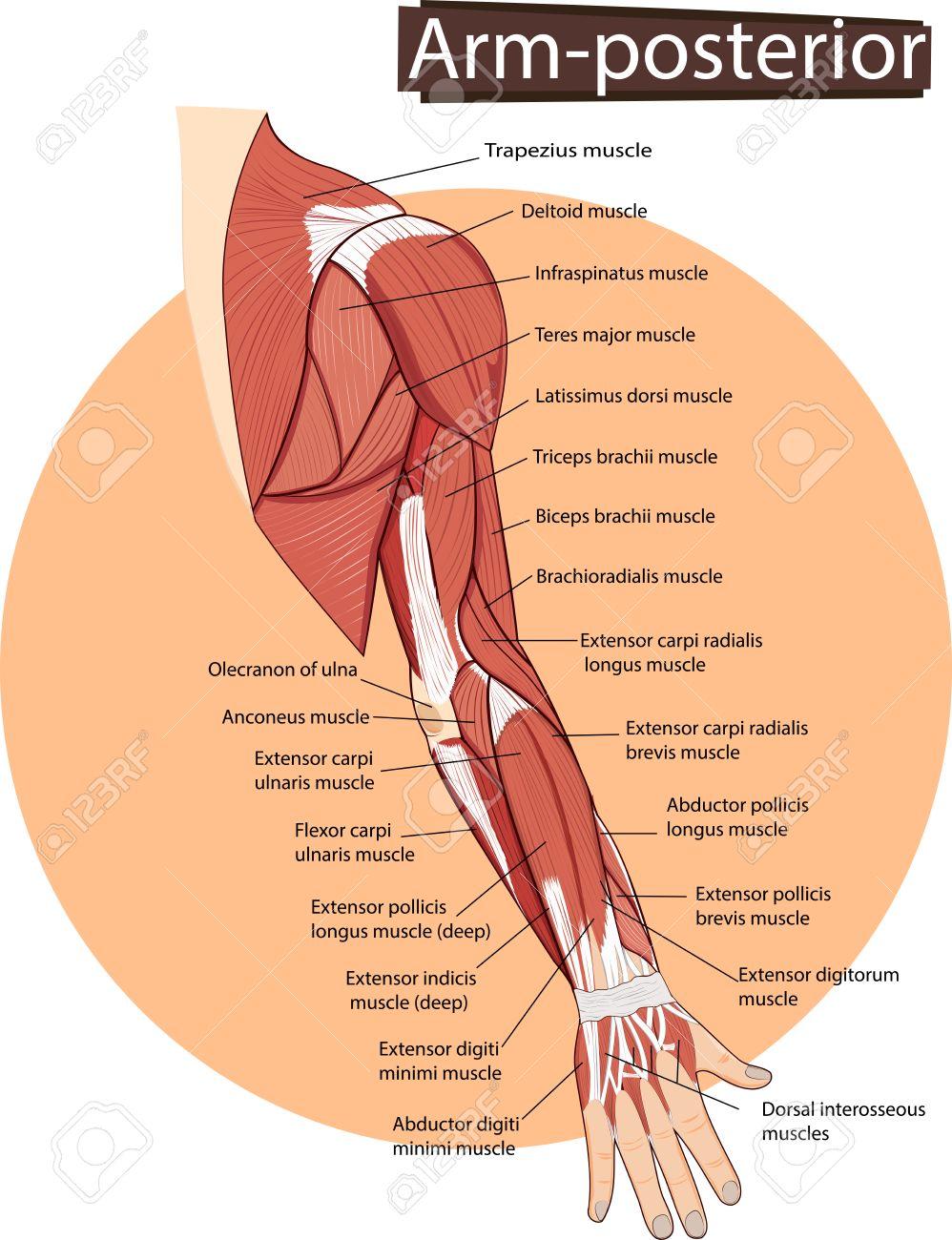 Ilustración De La Anatomía Del Brazo Ilustraciones Vectoriales, Clip ...