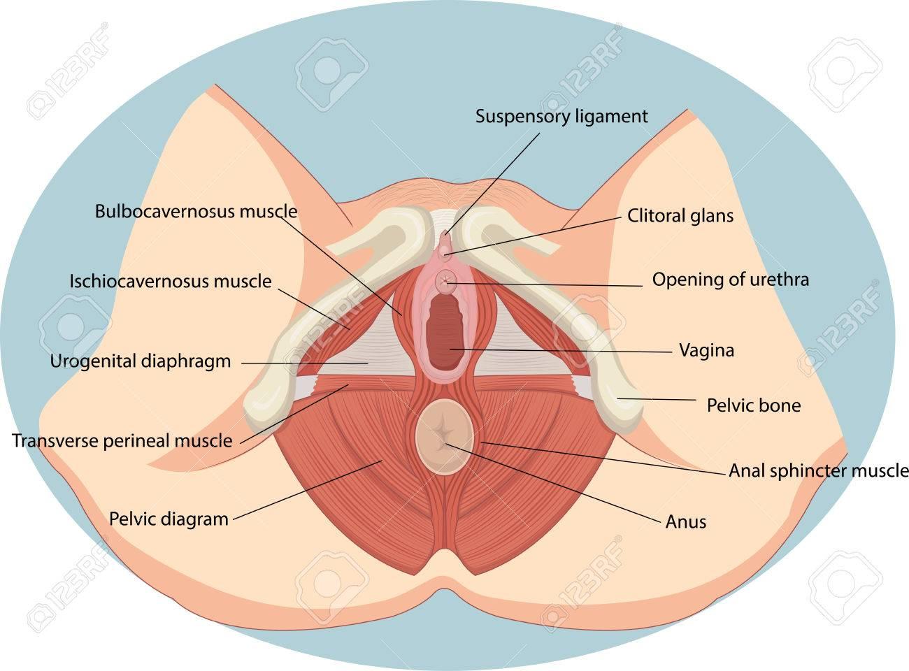 Ilustración Vectorial De La Anatomía De Los Músculos Reproductivos ...