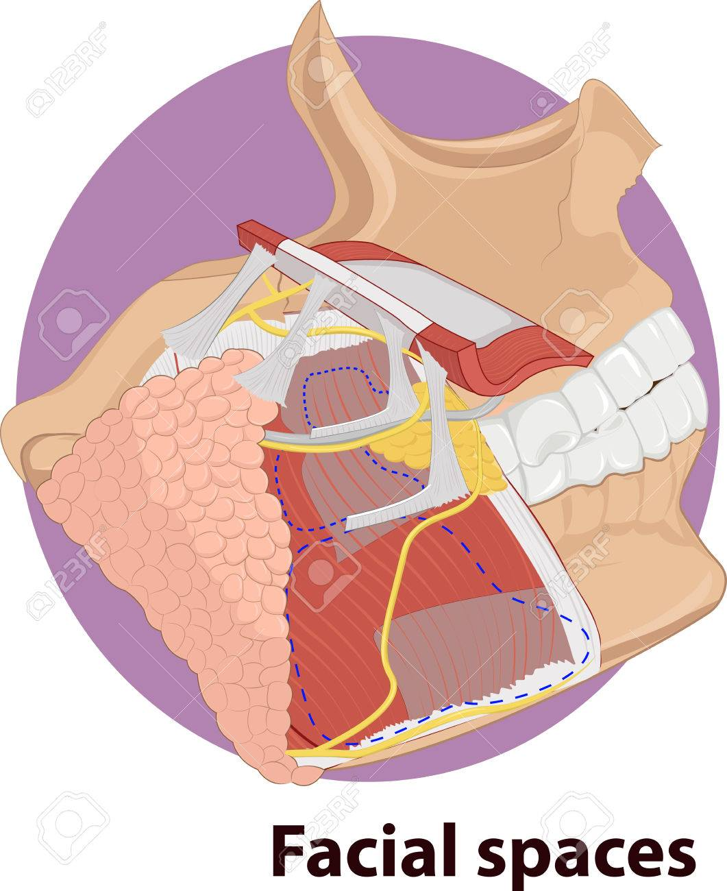 Vector Illustration Of Facial Spaces Anatomy Royalty Free Cliparts ...
