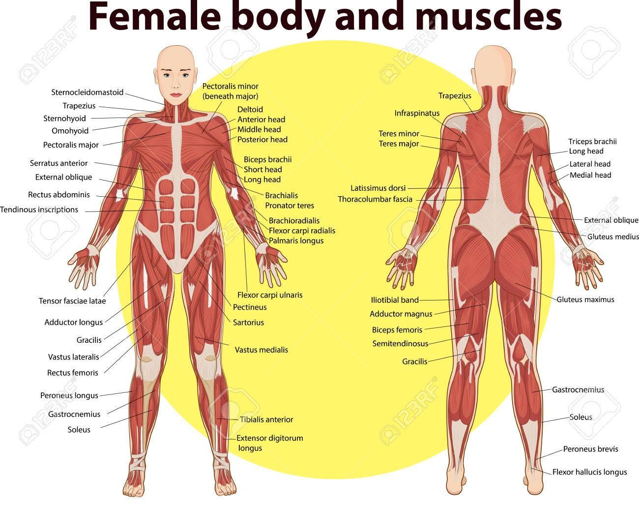 Vektor-Illustration Von Körper Und Muskeln Anatomie Lizenzfrei ...