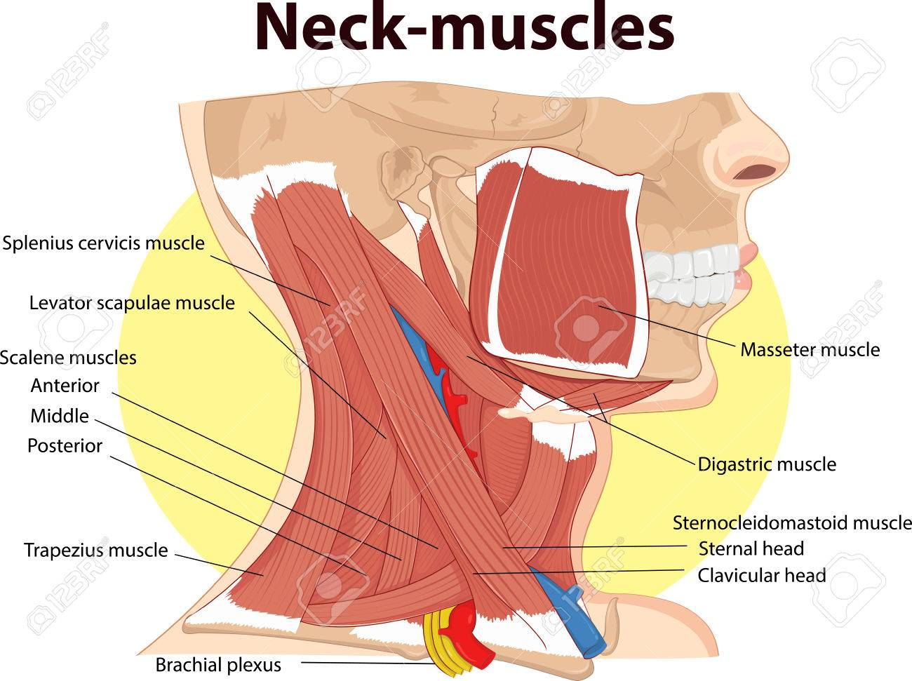 Vector illustration of neck muscles anatomy royalty free cliparts vector vector illustration of neck muscles anatomy ccuart