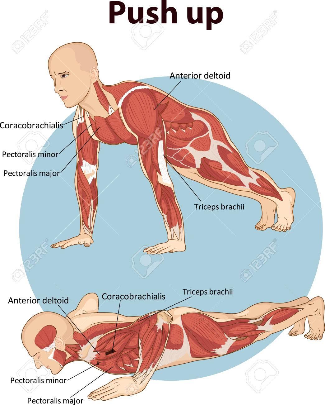 Ilustración Vectorial De Push Up Muscular Anatomía Ilustraciones ...