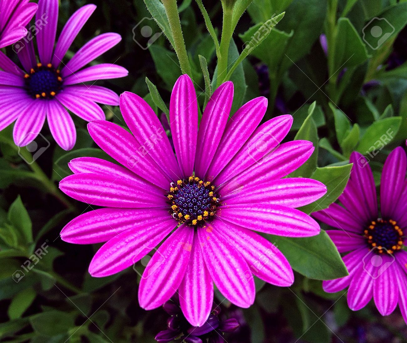 big purple flower stock photo, picture and royalty free image, Beautiful flower