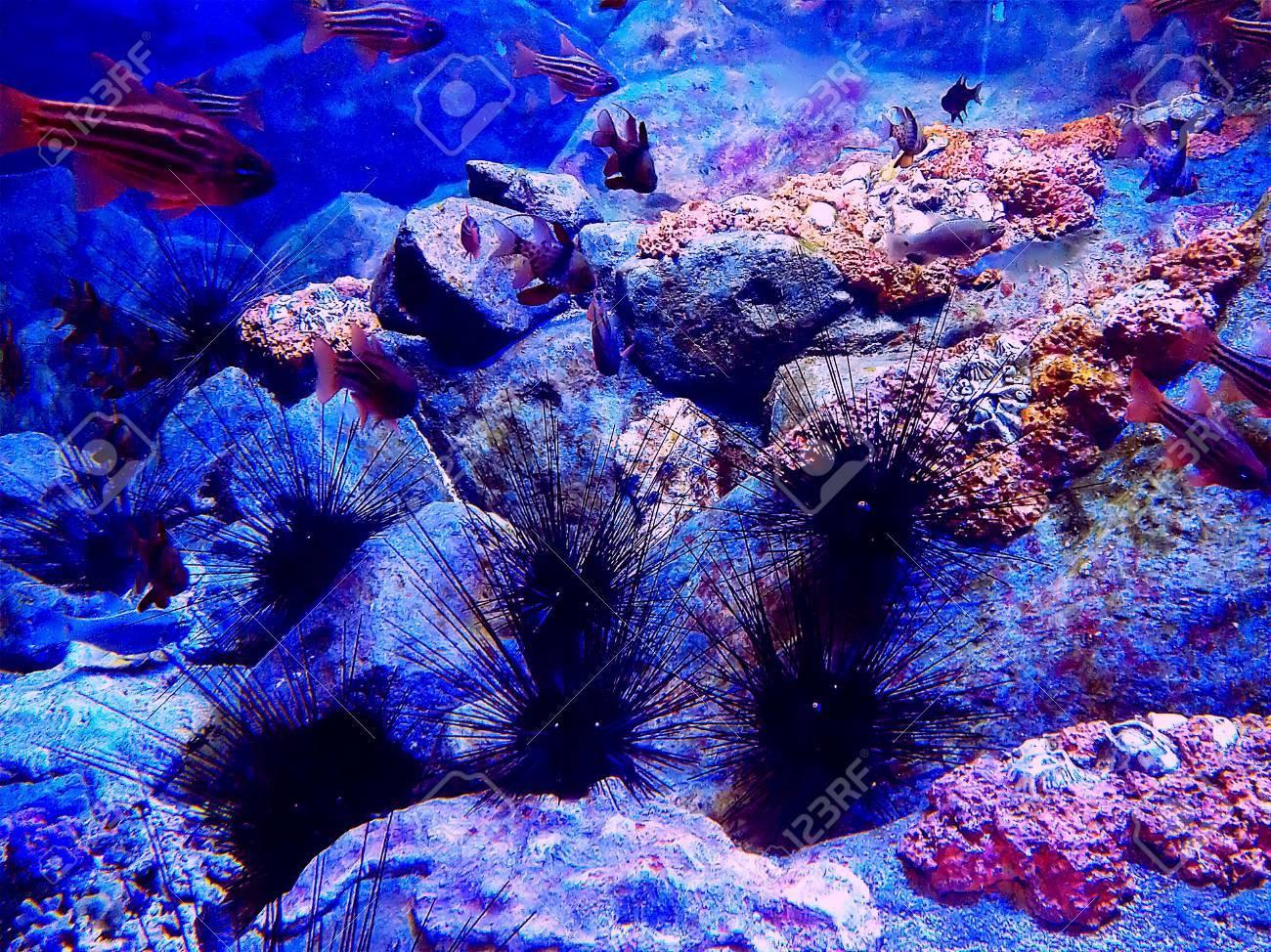 Sea urchins in an aquarium Stock Photo - 18970279