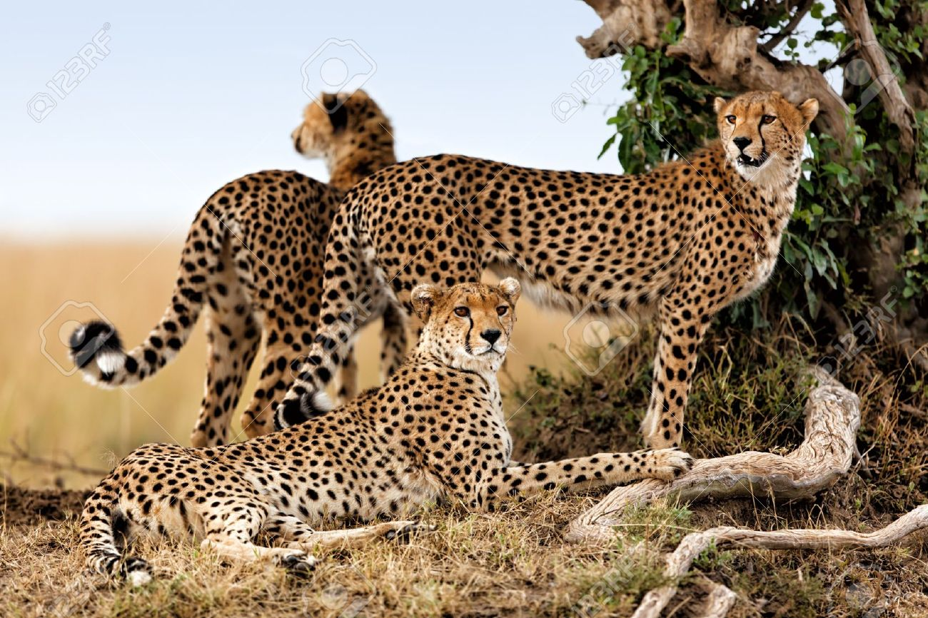 cheetah mother and two young ones looking for food masai mara