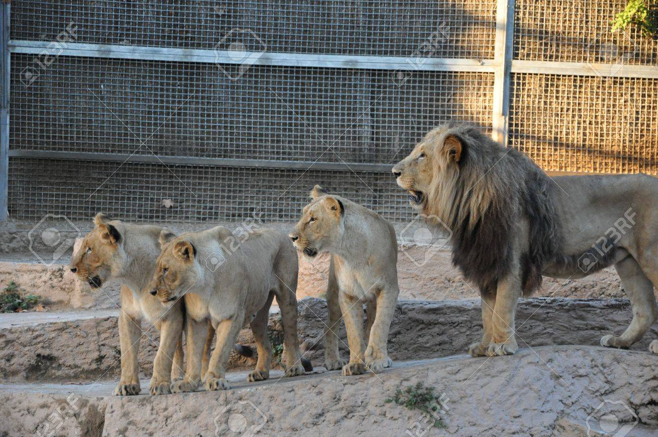 Zoo Barcelona family of lions zoo barcelona stock photo picture and royalty
