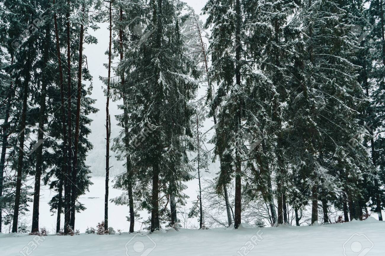 High Fir Trees Covered With Snow Beautiful Pine Tree Forest Stock Photo Picture And Royalty Free Image Image 123761232