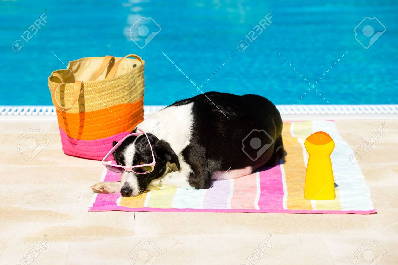 Funny Female Dog Wearing Sunglasses And Sunbathing At Poolside On Summer Summertime Vacation Concept
