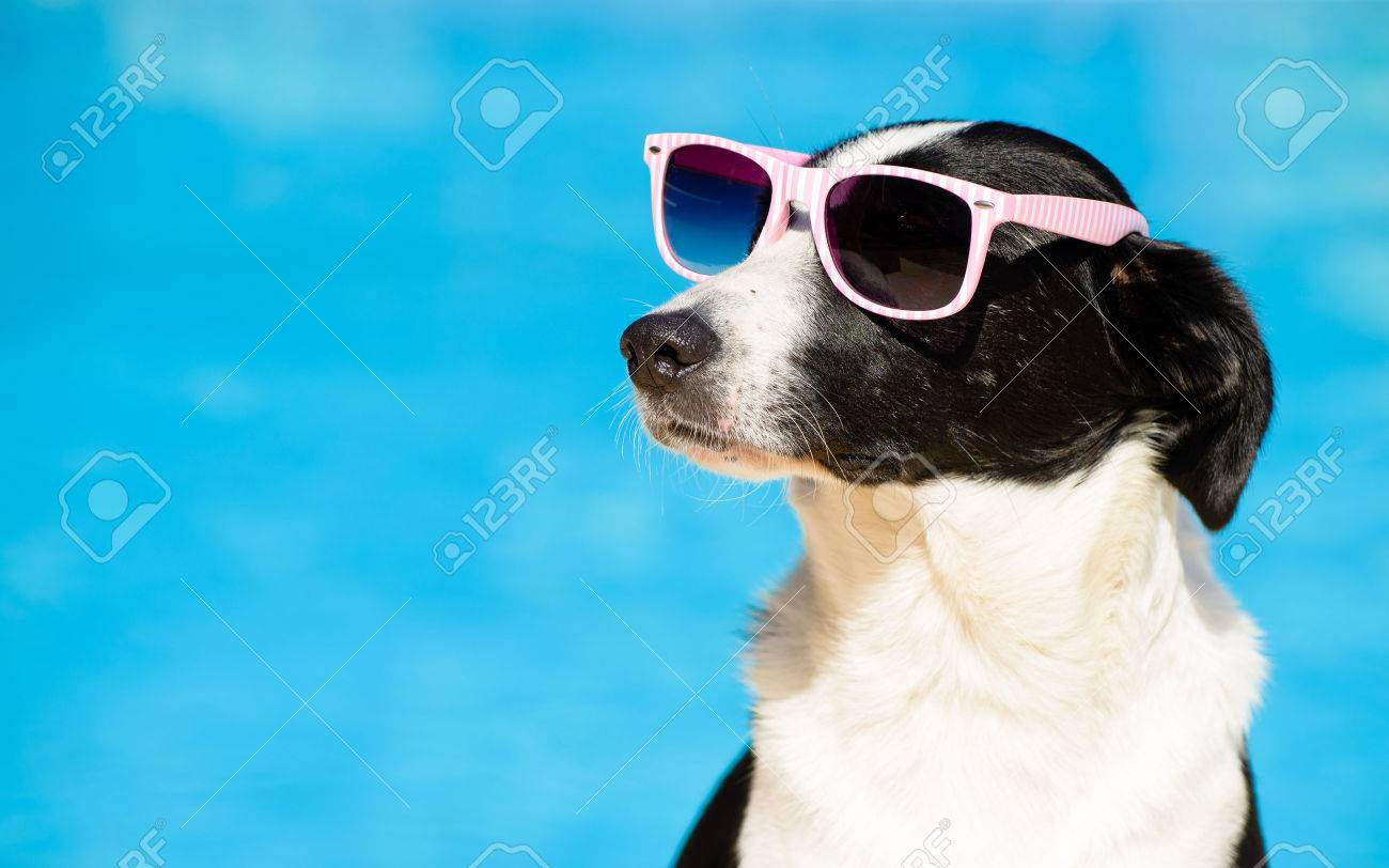 Funny Female Dog Wearing Sunglasses And Sunbathing At Swimming Pool On Summer Summertime Vacation Concept