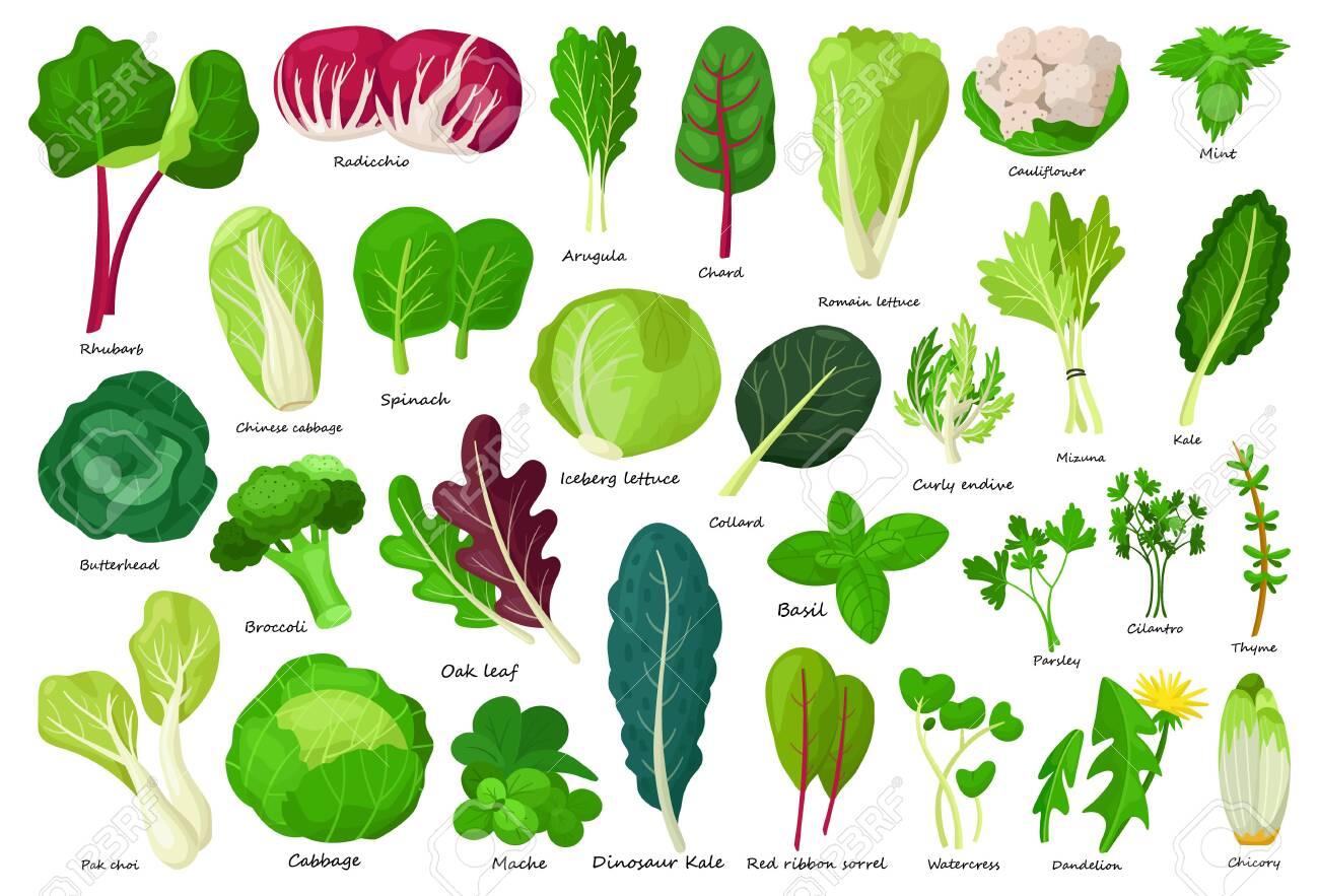 Vegetable lettuce cartoon vector icon.Illustration of isolated cartoon icon vegetable salad . Vector illustration set lettuce leaf and cabbage. - 134773485