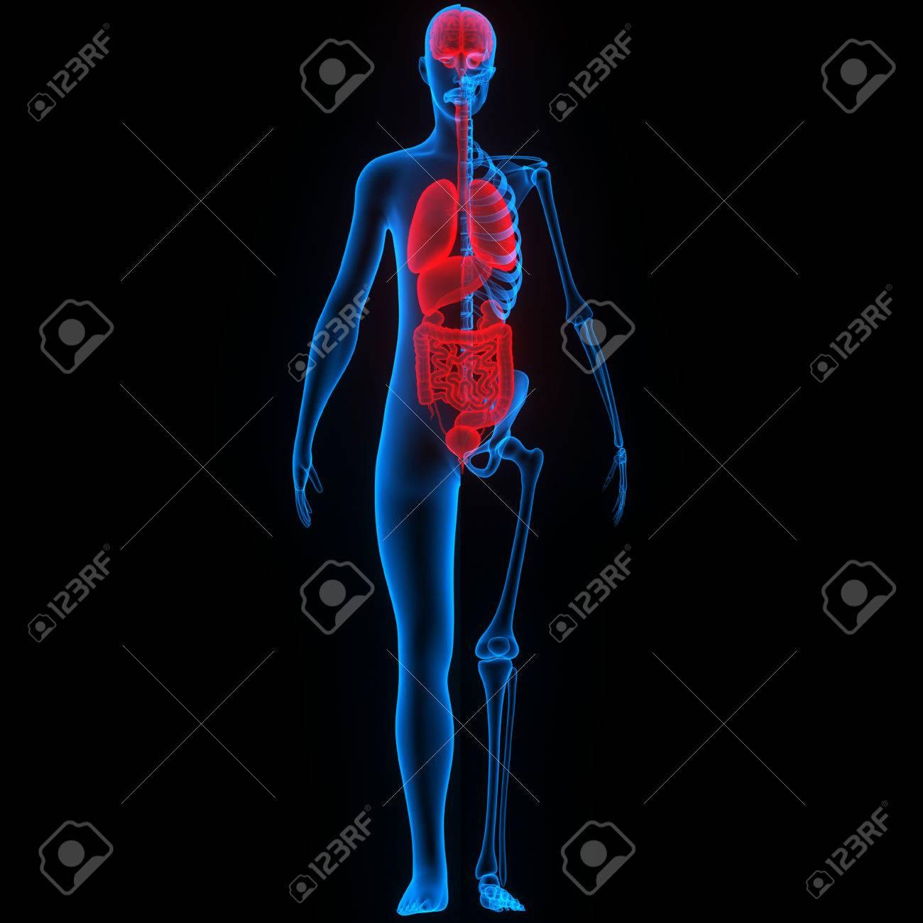 Menschlicher Körper Organe Anatomie Lizenzfreie Fotos, Bilder Und ...