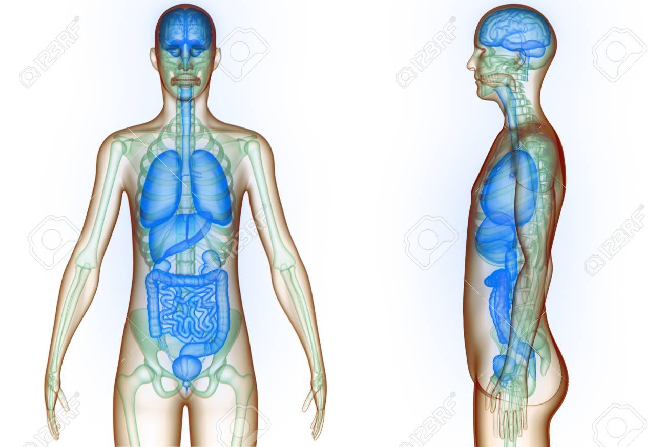 Rganos Del Cuerpo Humano (cerebro, Pulmones, Intestino Grueso Y ...
