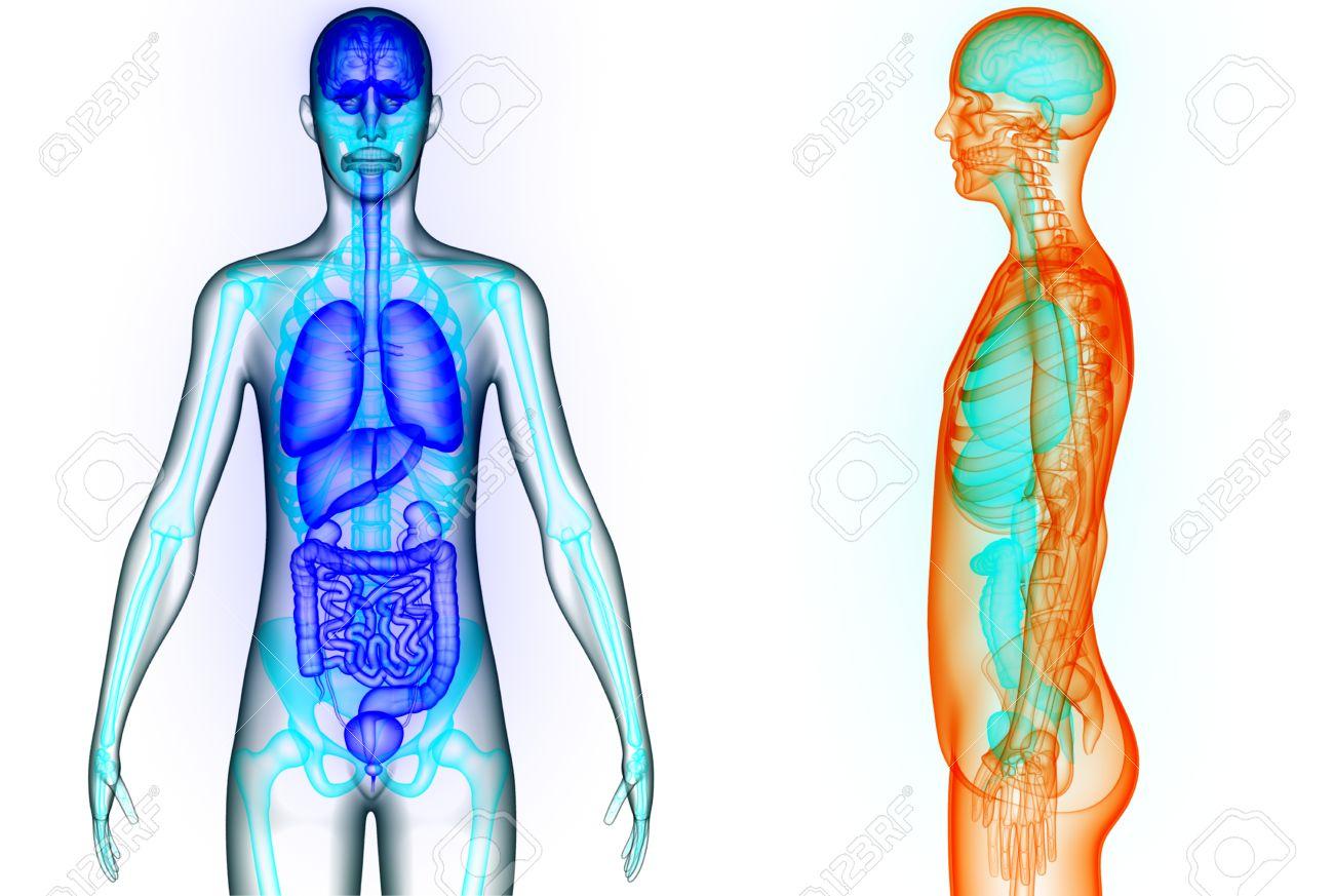 Menschlicher Körper Organe (Gehirn, Lunge, Dick- Und Dünndarm Mit ...