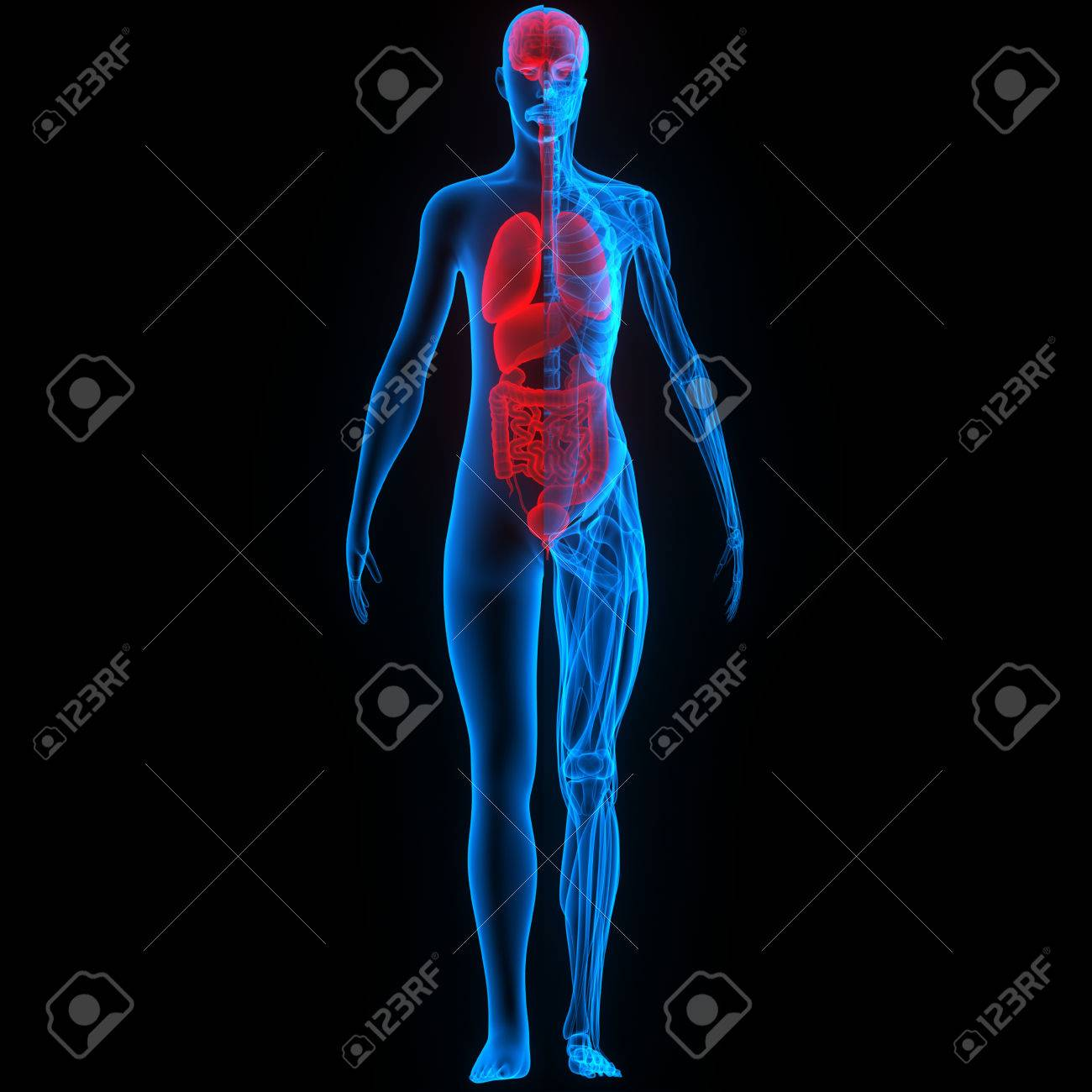 Human Body Organs (Brain, Lungs, Large And Small Intestine With ...