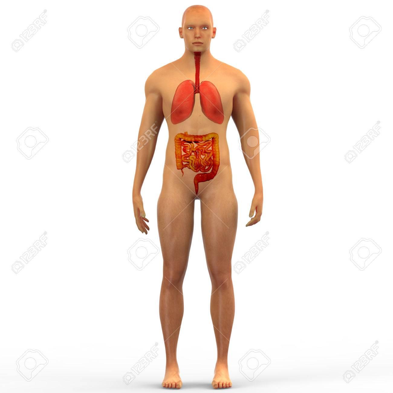 Menschliche Körperorgane Anatomie (Lungen Mit Groß- Und Dünndarm ...