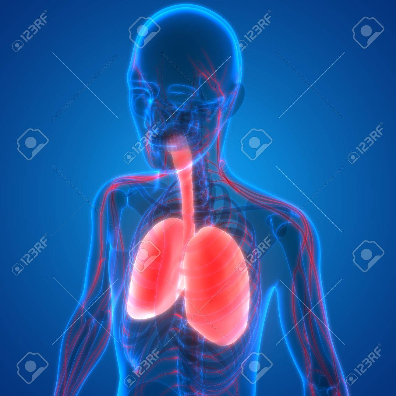 Human Body Organs (Lungs With Nervous System Anatomy) Stock Photo ...