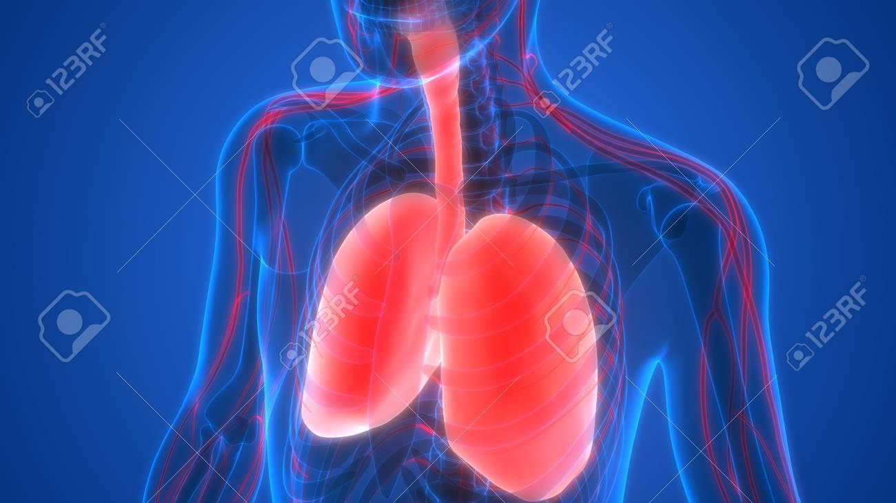 Menschlicher Körper Organe (Lunge Mit Nervensystem Anatomie ...
