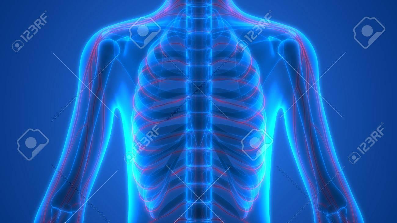Esqueleto Humano Con La Anatomía Del Sistema Nervioso Fotos ...