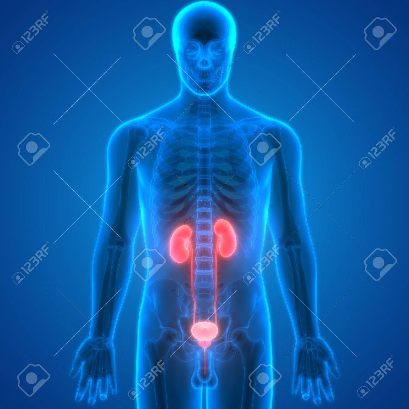 Rganos Del Cuerpo Humano (anatomía Riñones) Fotos, Retratos ...