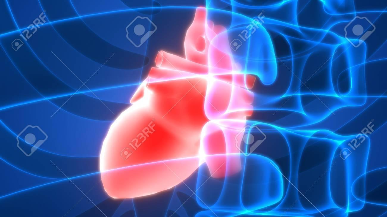Menschlicher Körper Organe (Herz-Anatomie) Lizenzfreie Fotos, Bilder ...