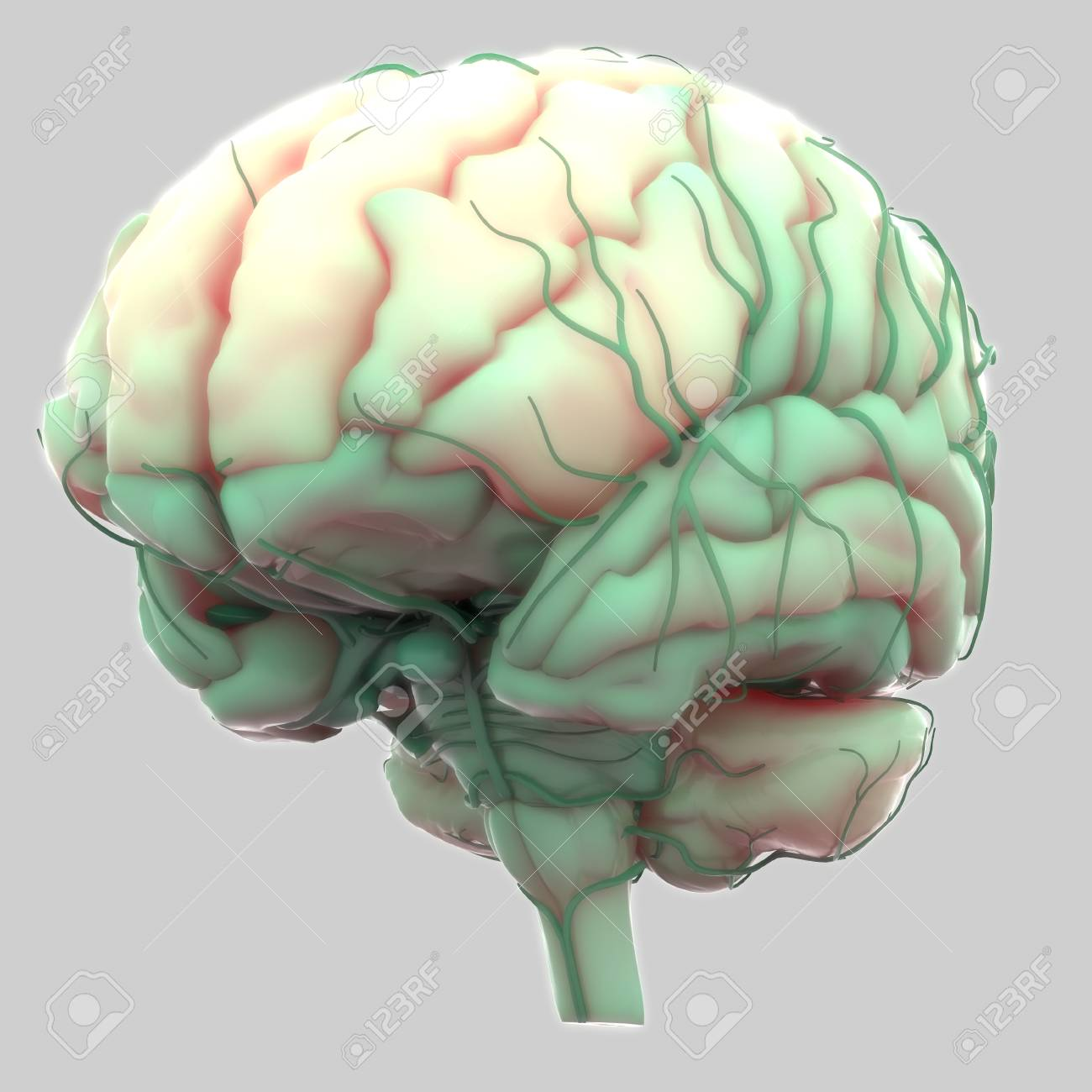 Human Brain With Nervous System Anatomy Stock Photo Picture And