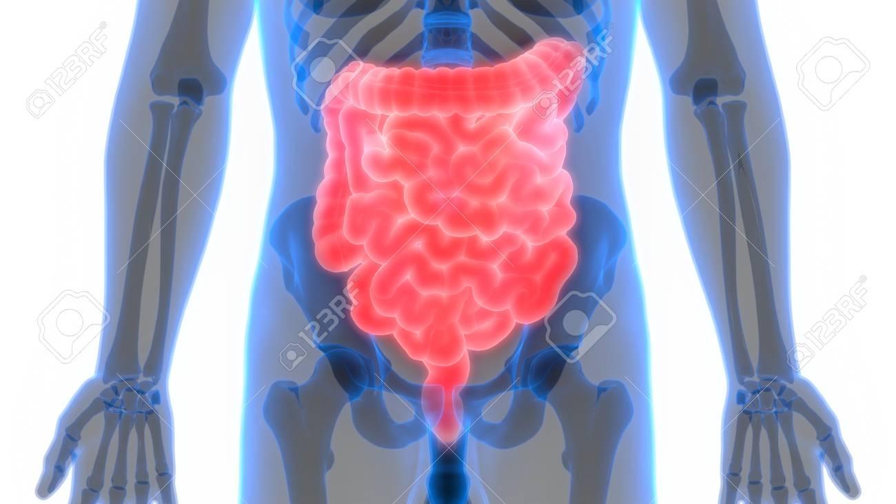 Human Body Organs (Large And Small Intestine) Anatomy Stock Photo ...