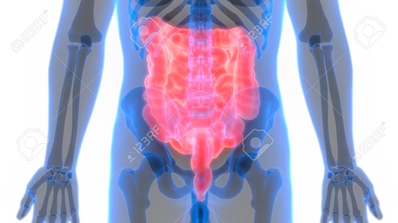 Rganos Del Cuerpo Humano Anatomía (intestino Grueso Y Delgado) Fotos ...
