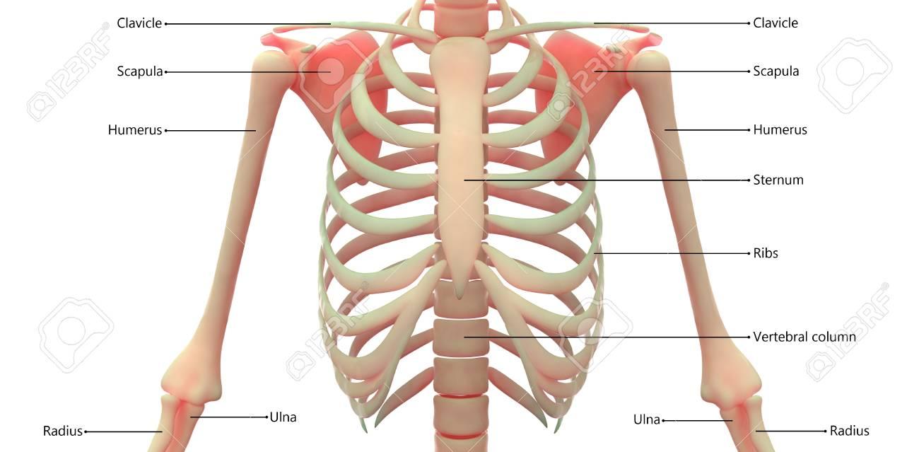 Hueso Del Cuerpo Humano Anatomía De Las Articulaciones (costillas ...