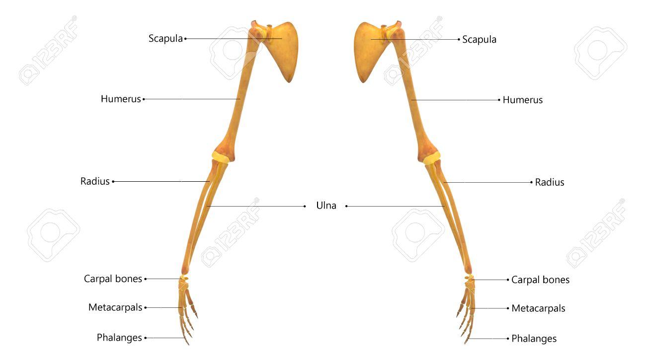 Menschlicher Körper Knochen Gelenkschmerzen Anatomie (oberen ...