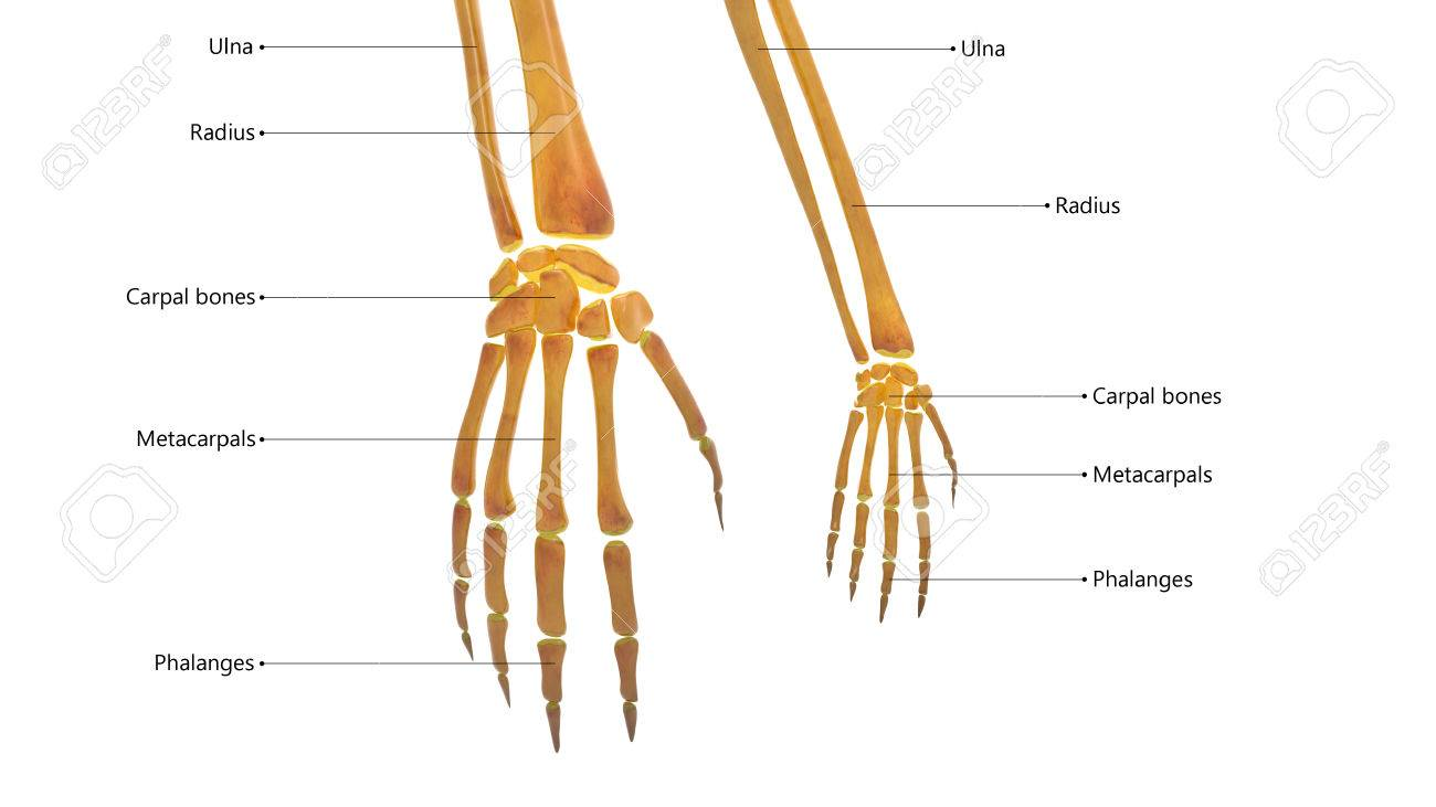 Human Body Bone Joint Pains Anatomy Finger Joints Stock Photo