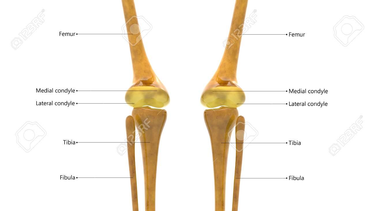 Anatomía De Los Huesos Articulares Del Cuerpo Humano (articulaciones ...