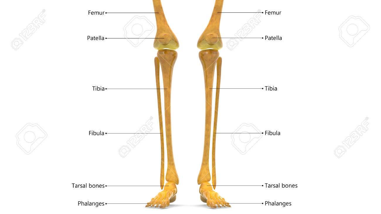 Human Body Bone Joint Pains Anatomy Leg Joints Stock Photo