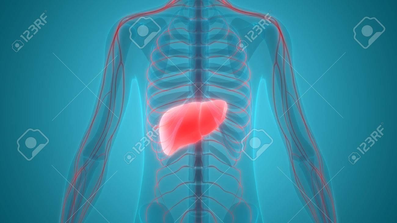 Menschlicher Körper Organe Anatomie (Leber Mit Nervensystem ...