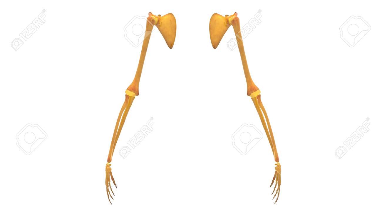 Human Body Bone Joint Pains Anatomy (Upper Limbs) Stock Photo ...