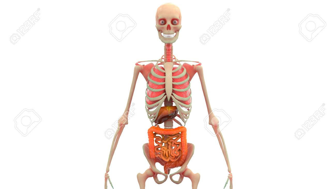 Human Body Organs Anatomy (Lungs, Liver, Large And Small Intestine ...