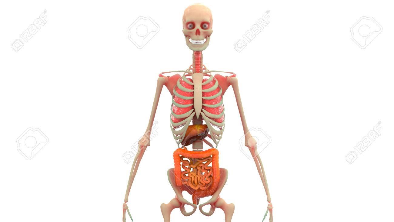 Menschlicher Körper Organe Anatomie (Lunge, Leber, Dick- Und ...